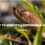 How To Identify A Copperhead Snake In 5 Steps